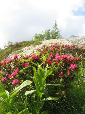 Rododendri (Foto Emanuele Cinelli)